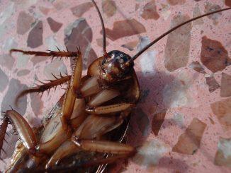 dezynsekcja karaluchów